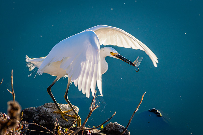 Snowy Egret Snares a Dragonfly