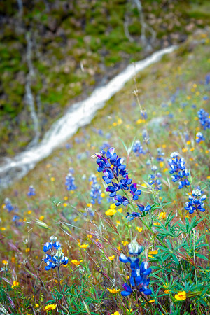 Lupins - Table Mountain-7