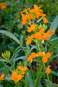 Siberian Wallflower, Cheiranthus allionii