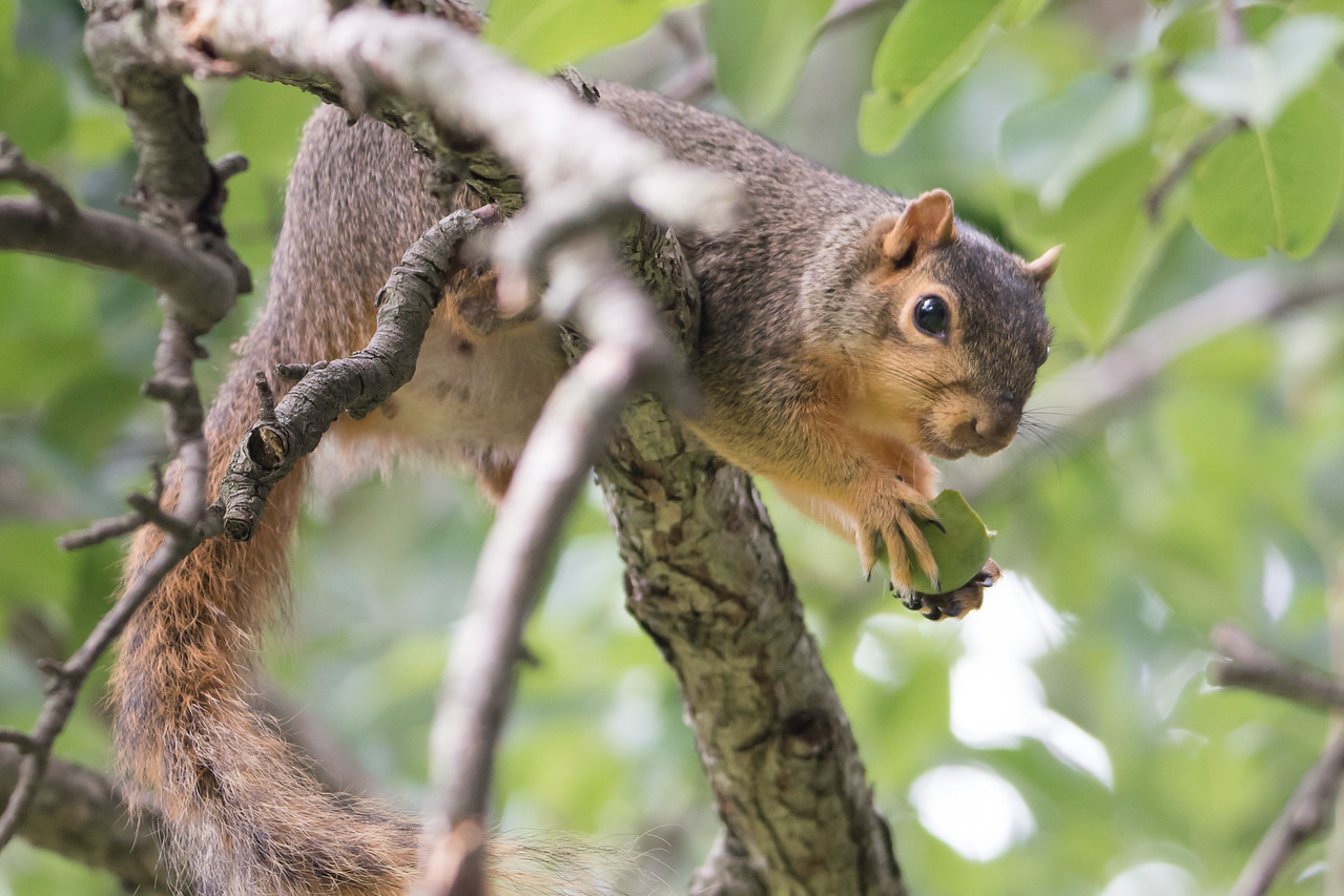 Squirrel with Pear