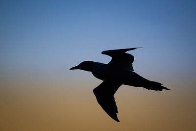 Silhouette of a Gannet against the setting sun.