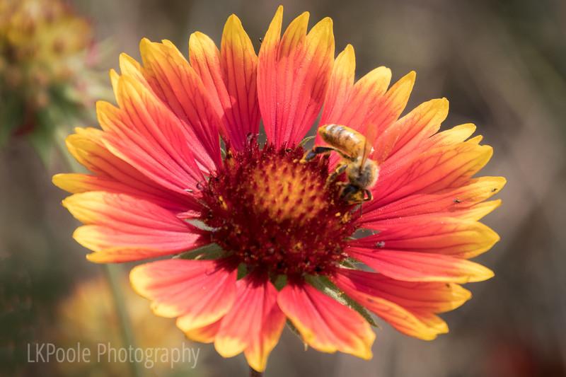 Busy Bee on Galardia