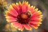 Busy Bee on Galllardia