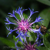 Bright Beautiful Cornflower