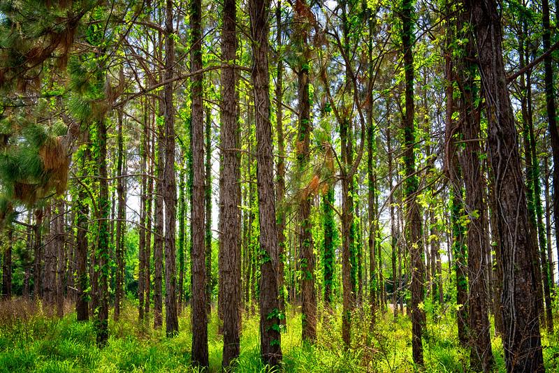 """ETC-3075  """"Sunlit Trees"""""""