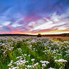 Flowery Field at Sunset