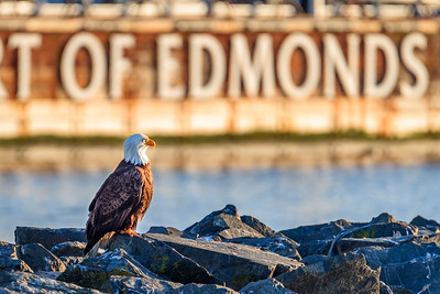 Port of Edmonds Bald Eagle