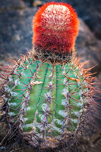 Morning Cactus