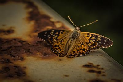 ButterflyRadnor Park NashvilleTN '18 LR-7250