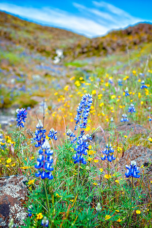 Lupins - Table Mountain-21