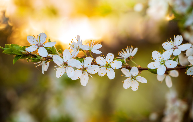 A close up plum tree blossom in a golden sunset light with soft and dreamy background a spring scene