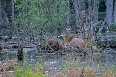 Deer on Marsh Nest