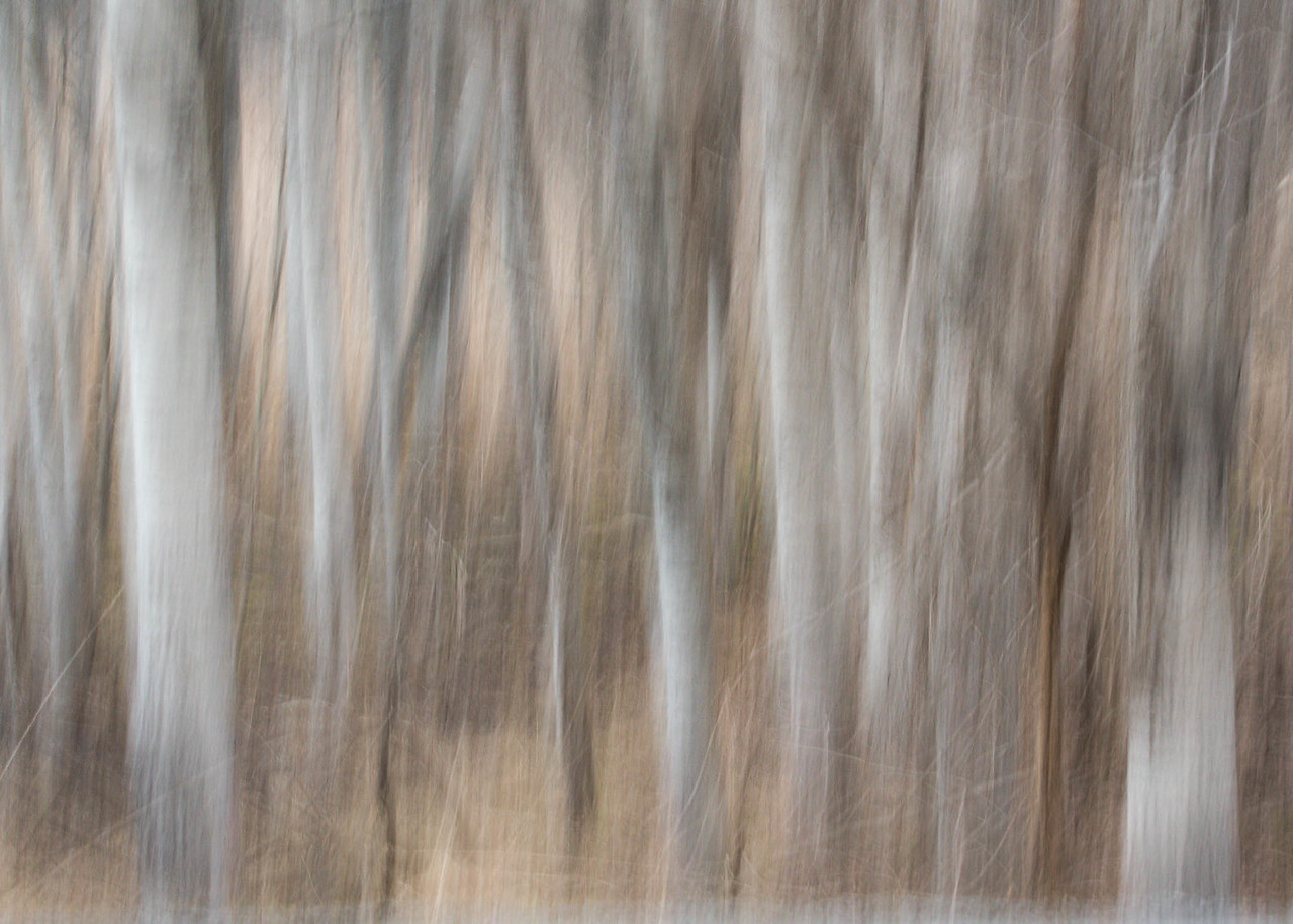 Slow Shutter Birches