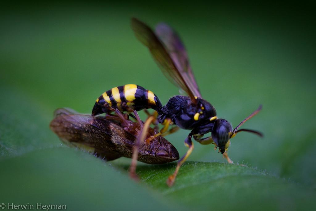 Wesp in mijn tuin. Wasp in my garden