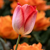 Brilliantly colored spring Tulip