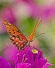 monarch butterfly on a colorful purple flower