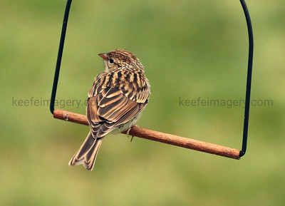 Female Chipping Sparrow