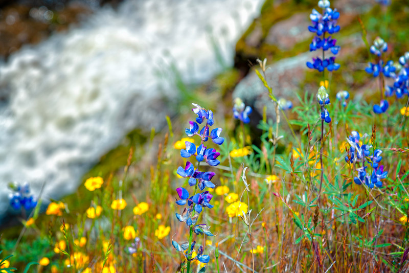 Lupins - Table Mountain-16