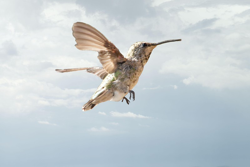 H ummingbird