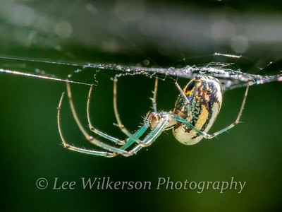 Orchard Orb Weaver Waiting