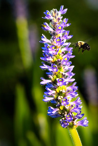 Bumblebee on Loosestrife