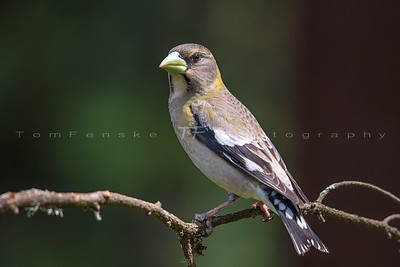 Young Evening Grosbeak