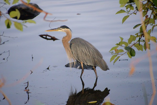 Another Blue Heron