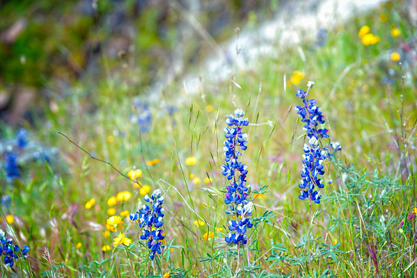 Lupins - Table Mountain-8