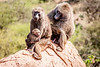 Olive Baboon family near Dol Dol, Kenya