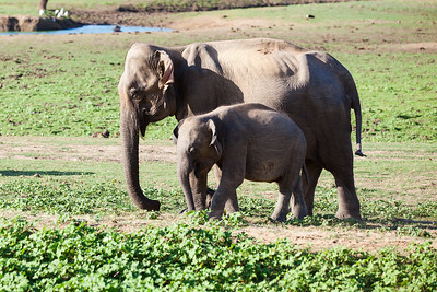 Elephant Mother and Baby Udawalawe National park Sri Lanka