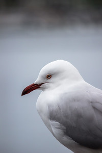 Seagull by the bay