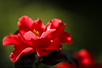 Camellia 'Freedom Bell' blooms.  Photo by Kyle Spradley | www.kspradleyphoto.com