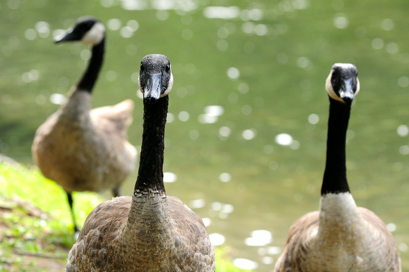Three Canada Geese at Deming Park along the pond.  Brendan Kearns