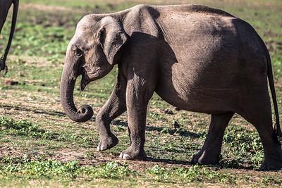 Baby Elephant Udawalawe National Park, Sri Lanka