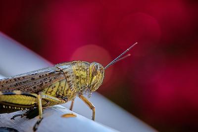 Egyptian grasshopper or Egyptian locust (Anacridium aegyptium)