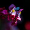 Begonie • Begonia