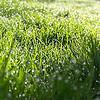 Morning dew grass