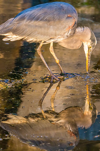 Great Blue Heron Reflecting