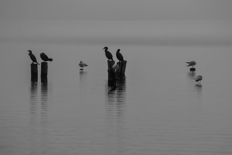 Cormorants Perched on Manasquan Reservoir, Howell, NJ
