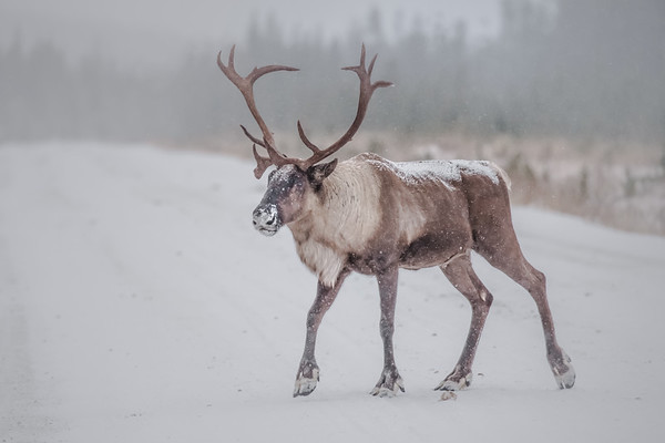 Central Mountain Caribou