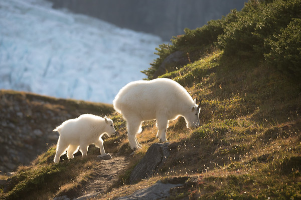 Goats and Glaciers