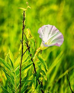 Wild Flowers, Morning Glory