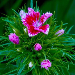 Sweet Williams, Dianthus barbatus