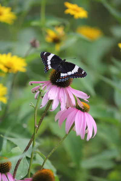 White Admiral Butterfly and Coneflower