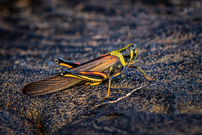 Galapagos Grasshopper