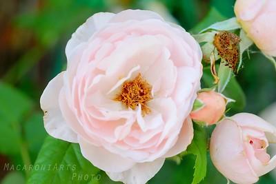 Pink Roses - Summer 2015