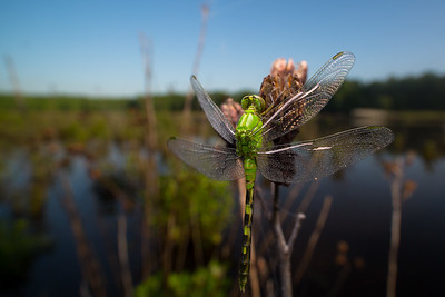Eastern Pondhawk Watches The Marsh