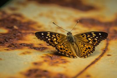 ButterflyRadnor Park NashvilleTN '18 LR-7261