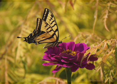 Tiger swallowtail with yellow background