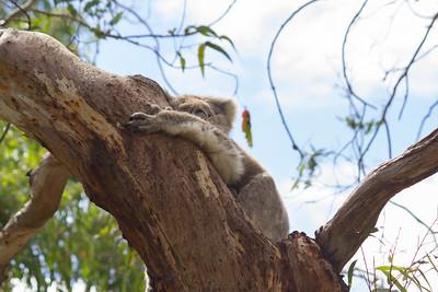 Koala Tree Hugs